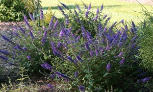 Buddleja 'Blue Chip'