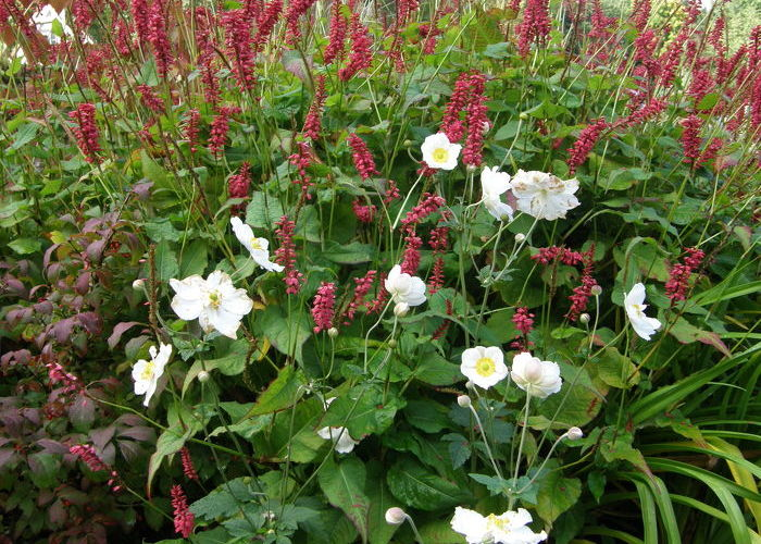 anemone hybrida 39 honorine jobert 39 tuinen mien ruys. Black Bedroom Furniture Sets. Home Design Ideas